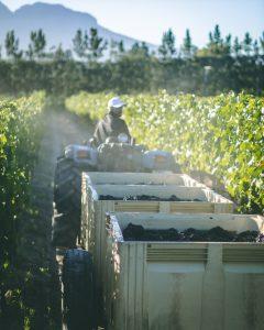 Boschendal Harvest Diary